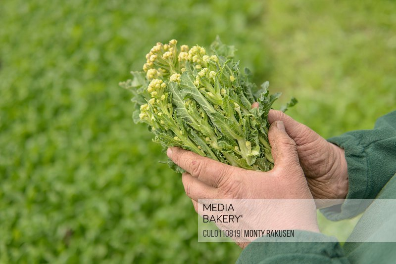 Farmer inspecting organic white sprouting broccoli close up