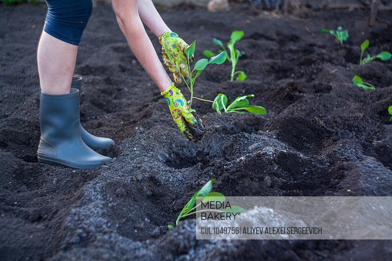 Person planting out plants in soil