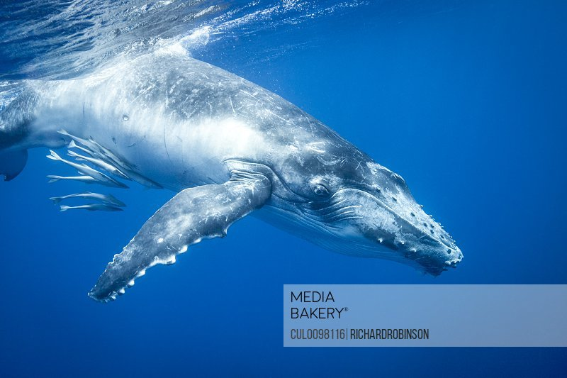 Humpback whale swimming underwater