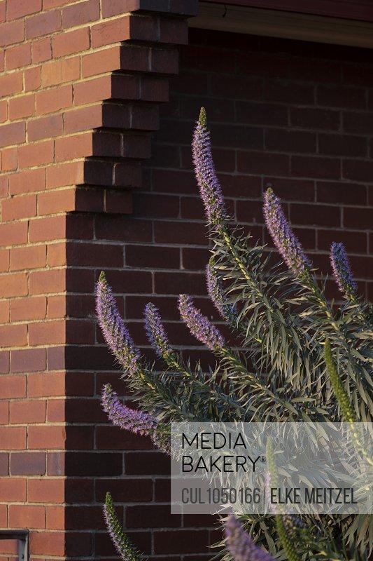 Purple flowers growing by building