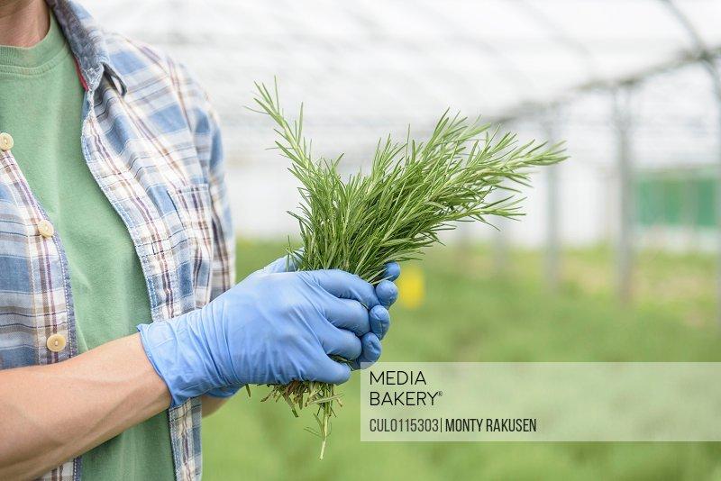 Worker holding fresh rosemary/n
