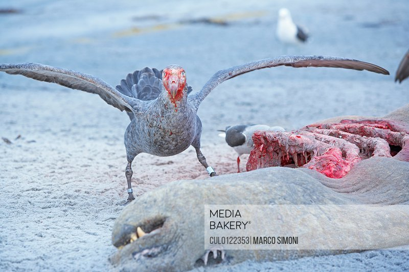Photo by Cultura Images - Giant Petrel Macronectes giganteus feeding on a  carcass of a Southern Elephant Seal Mirounga leonina Falklands Islands/n