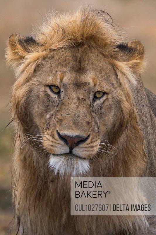 Male lion portrait (Panthera leo), Ndutu, Ngorongoro Conservation Area, Serengeti, Tanzania