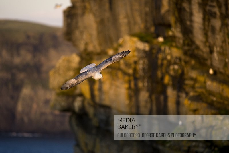 Seagull flying by cliffs