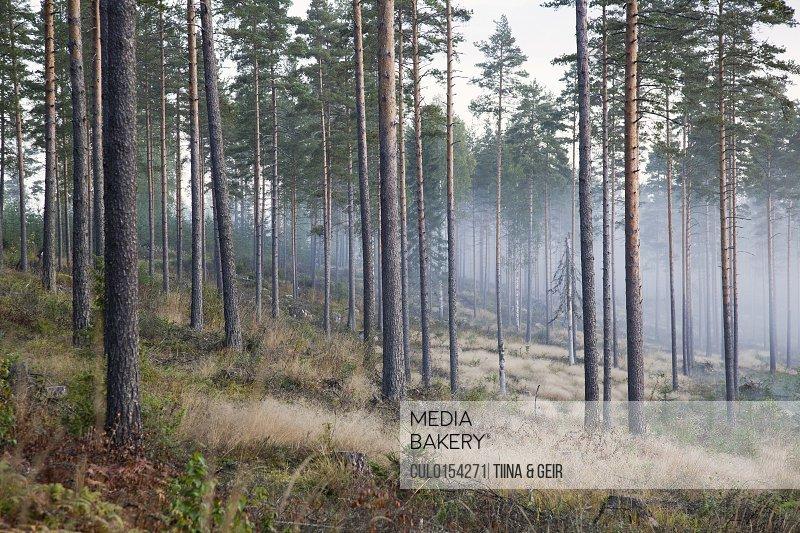 Trees and mist Somerniemi Finland