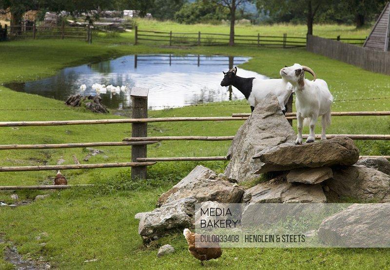 goats, hens on farm