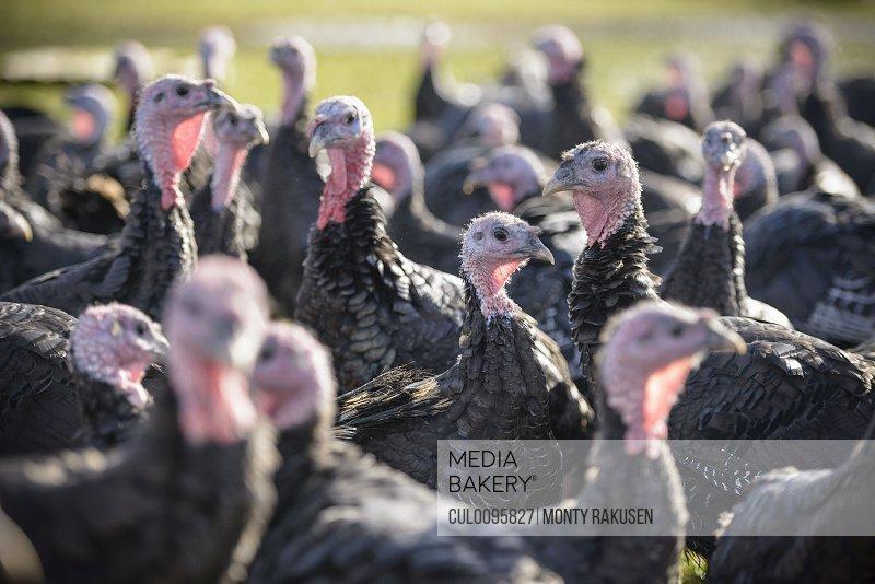 Turkeys on free range farm