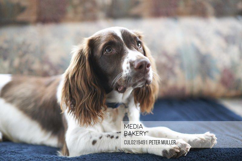 Portrait of dog lying on sofa
