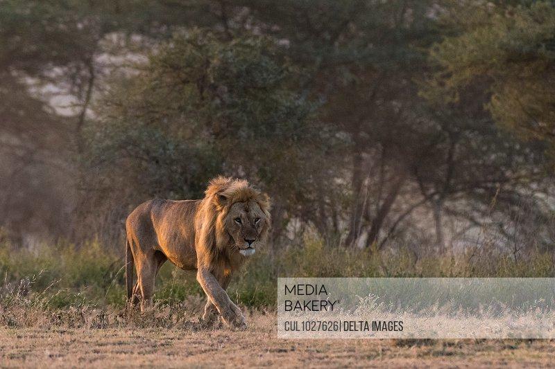 A male lion (Panthera leo), Ndutu, Ngorongoro Conservation Area, Serengeti, Tanzania