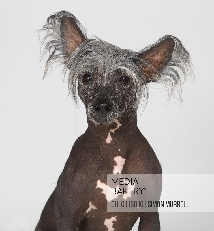 Mediabakery Photo By Cultura Images Chinese Crested Dogn