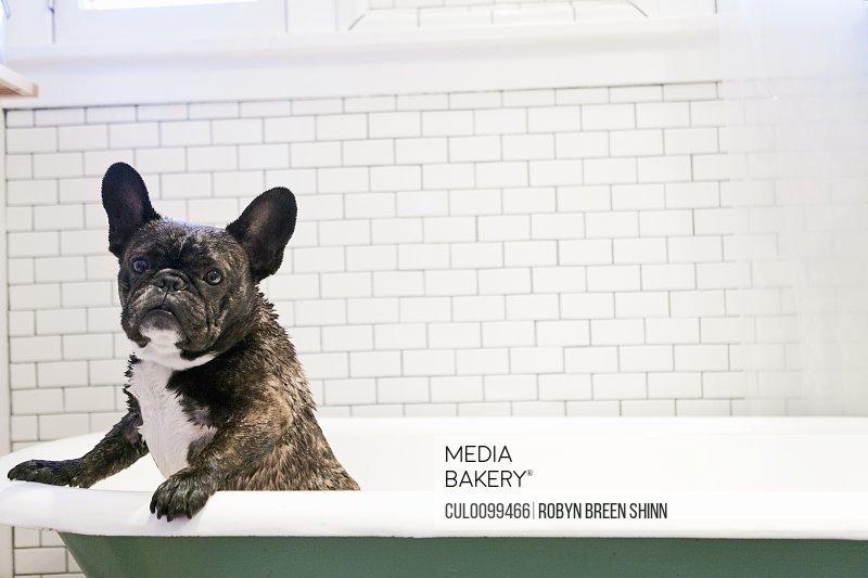French bulldog standing in bathtub