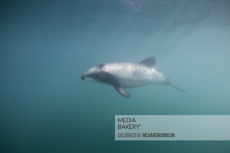 Hectors dolphin swimming underwater