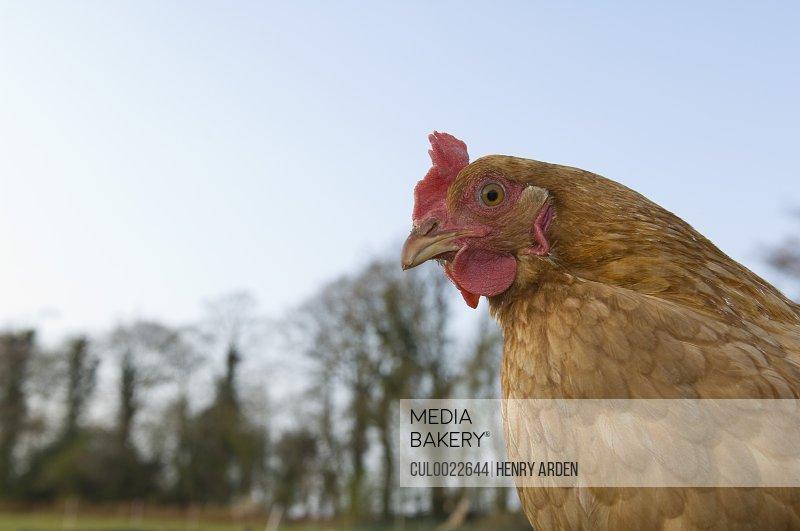 Chicken outside