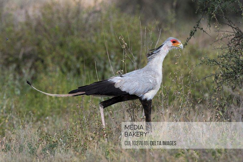Secretary bird (Sagittarius serpentarius), Ndutu, Ngorongoro Conservation Area, Serengeti, Tanzania