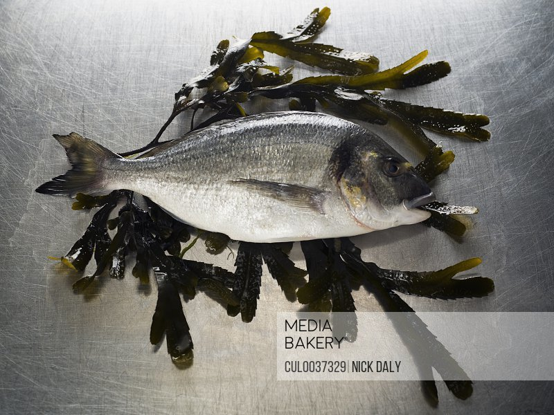 A Seabass sitting on a bed of seaweed