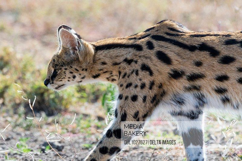 Serval (Leptailurus serval), Ndutu, Ngorongoro Conservation Area, Serengeti, Tanzania