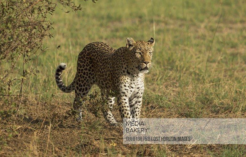 Hunting Leopard Panthera pardus)