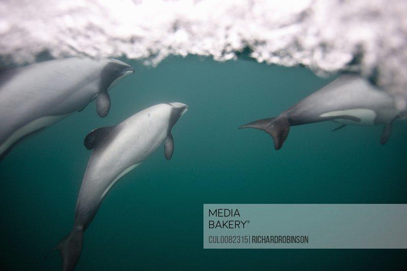 Hectors dolphins swimming underwater