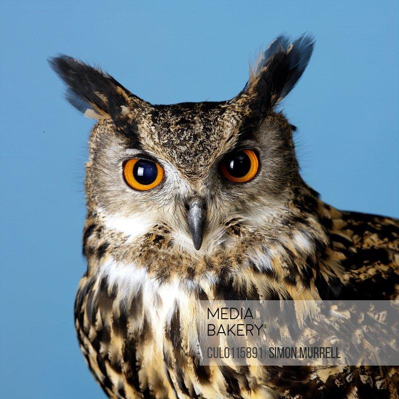 Eagle Owl/n