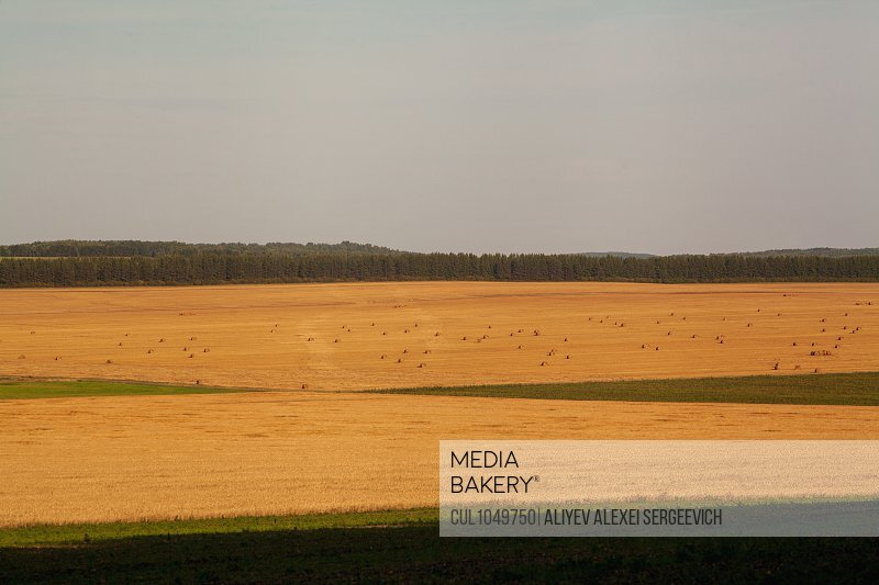 Golden hay fields