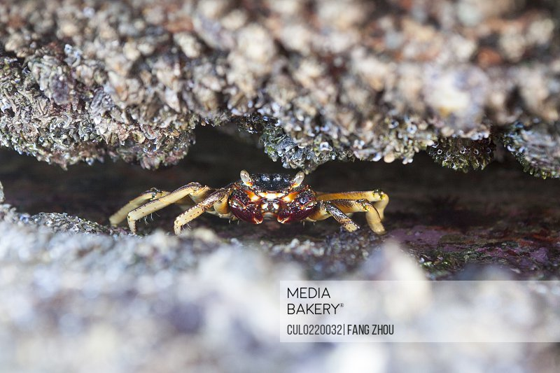 Close-up of crab hiding in rocks Durban South Africa