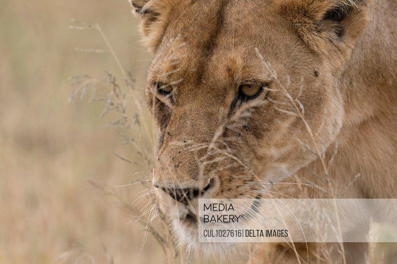 Close up portrait of a lioness (Panthera leo) walking, Seronera, Serengeti National Park, Tanzania