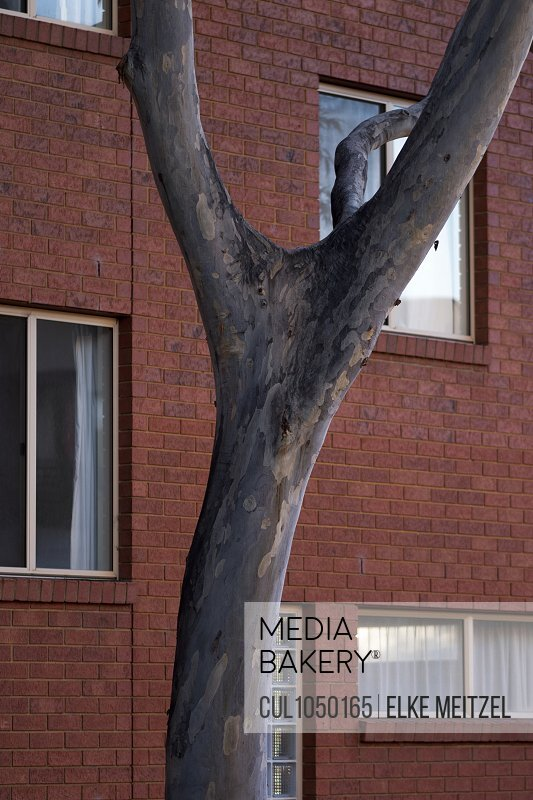 Gum tree in front of building with windows, Melbourne, Australia