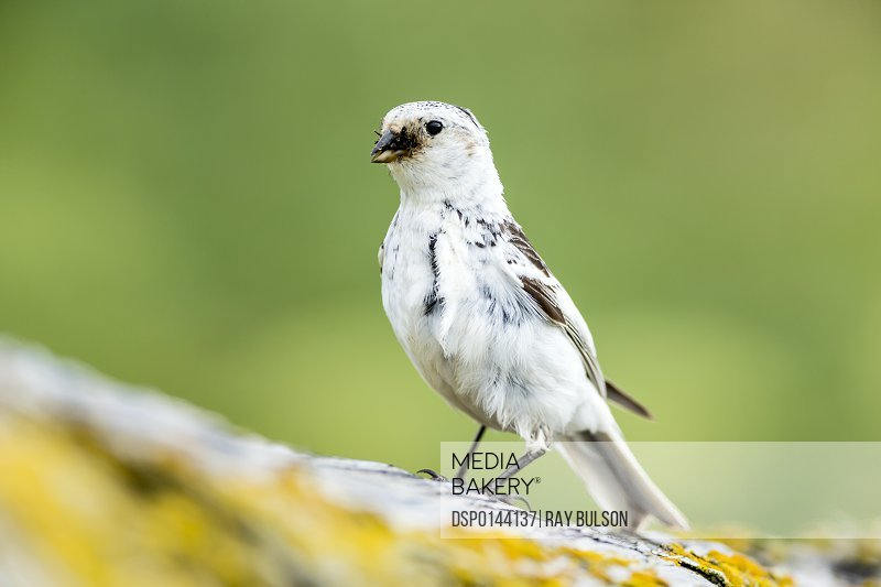 Snow Bunting (Plectrophenax nivalis) gathers a mouthful of insects for feeding its chicks on St. Paul Island in Southwest Alaska; St. Paul, Alaska, United States of America