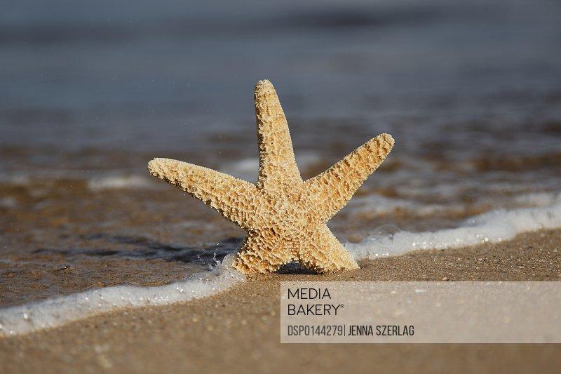 Sea Star On Beach; Maui, Hawaii, United States of America