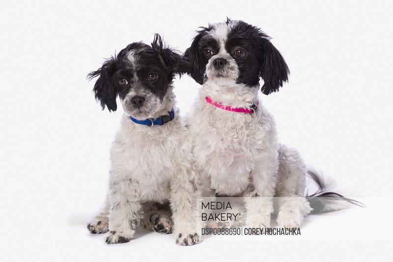 Photo by Design Pics - Black And White Havanese Puppies