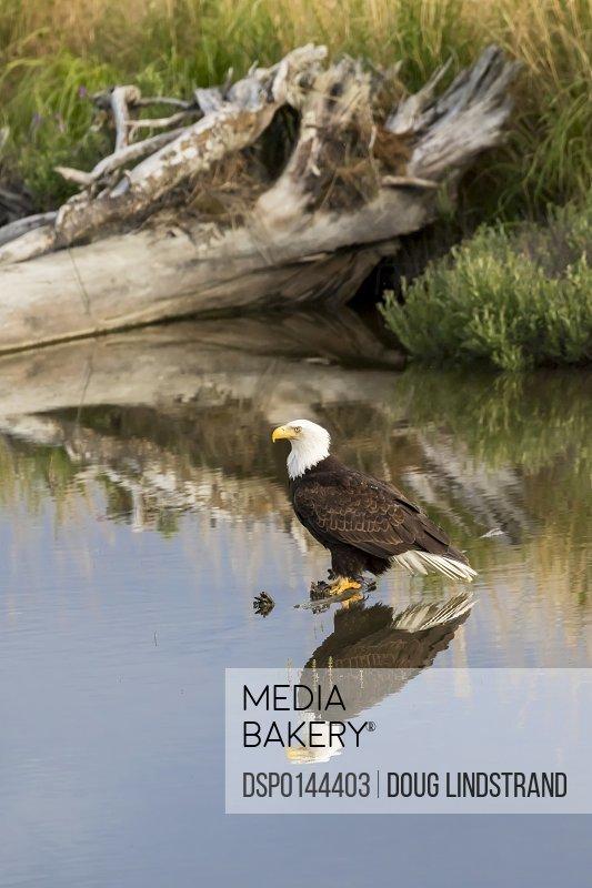 Bald Eagle (Haliaeetus leucocephalus) perched in pond, South-central Alaska; Alaska, United States of America
