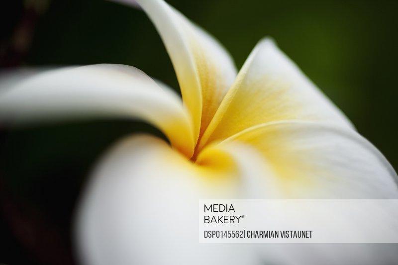 Close up macro of yellow and white plumeria flower, Koko Crater Botanical Garden; Oahu, Hawaii, United States of America