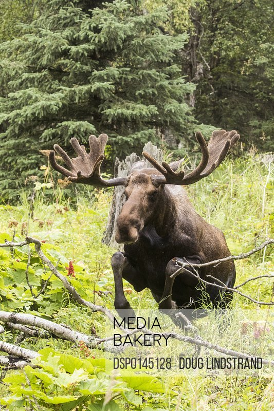 Bull moose (alces alces) in velvet jumps over deadfull in Kincaid Park, South-central Alaska; Anchorage, Alaska, United States of America