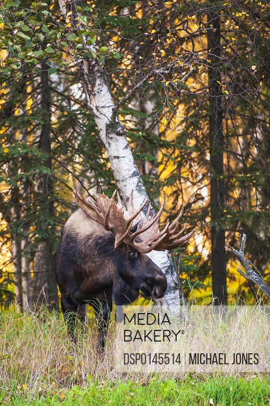 The large bull moose (alces alces) known as Hook who roams in the Kincade Park area in Anchorage is seen during the fall rut in South-central Alaska; Alaska, United States of America