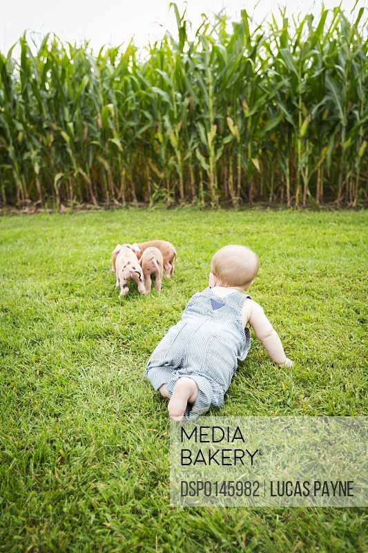 Infant boy playing with little pigs on a farm in Northeast Iowa in summertime; Iowa, United States of America