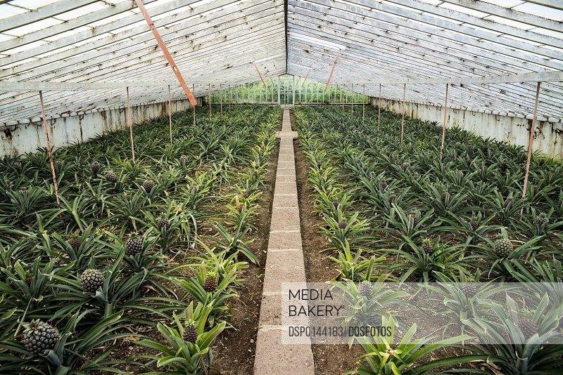 Ananas plantation; Faja de Baixo, Sao Miguel, Azores