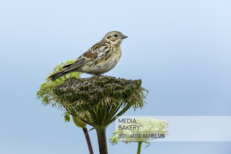 Lapland Longspur (Calcarius lapponicus) perched on wild celery on St. Paul Island, Southwest Alaska; St. Paul, Alaska, United States of America
