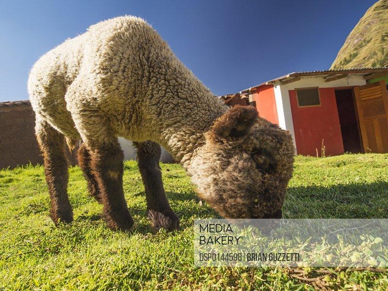 A lamb nibbles some grass in a schoolyard in the mountainous Cusco region of Peru; Andahuaylillas, Cusco, Peru
