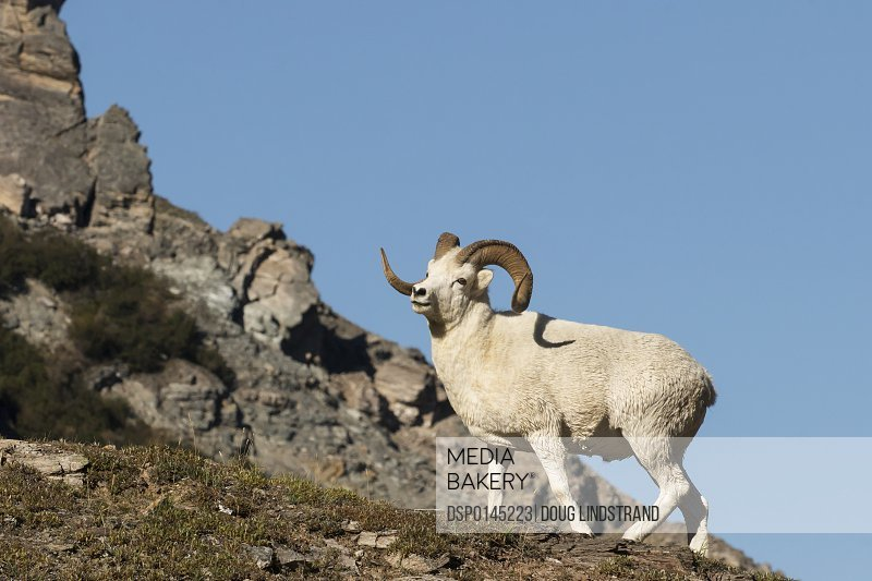 Dall ram (ovis dalli) climbing a rugged mountainside, Denali National Park and Preserve; Alaska, United States of America