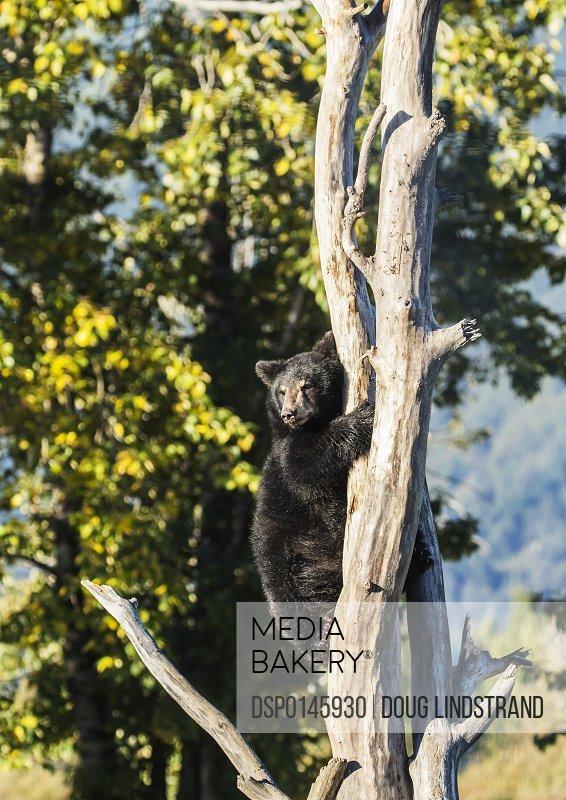 Black bear cub (ursus americanus) climbing a tree, Alaska Wildlife Conservation Center, South-central Alaska; Portage, Alaska, United States of America