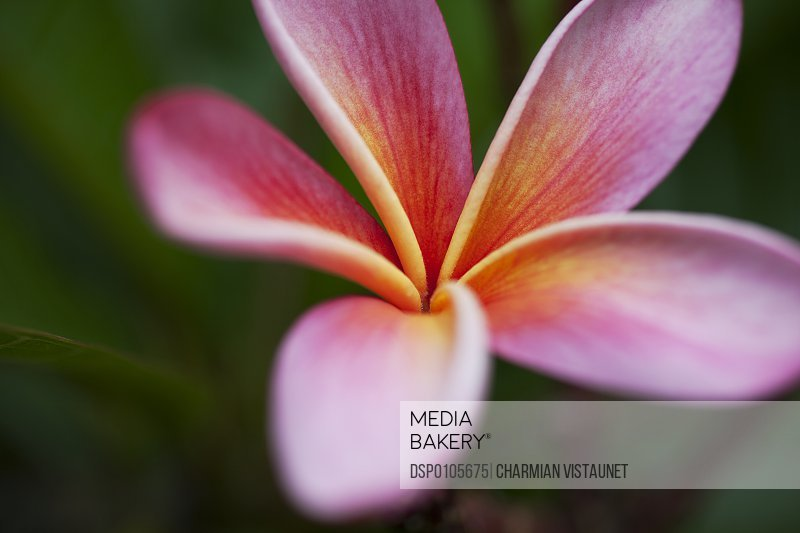 Mediabakery photo by design pics close up of vivid pink plumeria close up of vivid pink plumeria flower at koko crater botanical garden honolulu oahu mightylinksfo