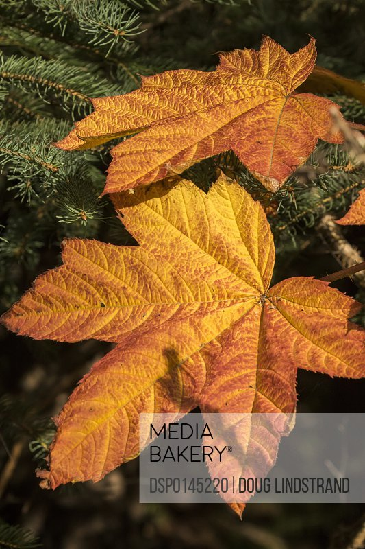Devil's Club (Oplopanax horridus) leaves changing color in mid-August; Anchorage, Alaska, United States of America