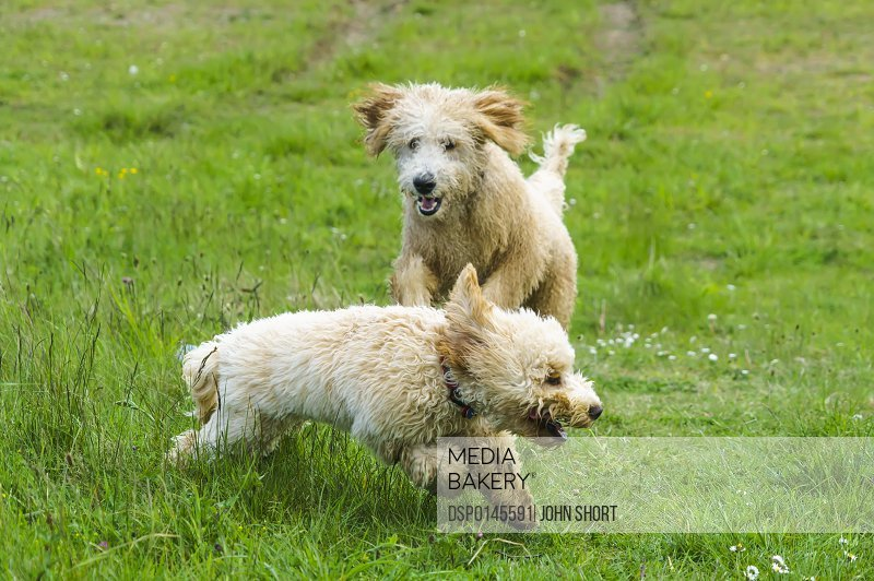 Two dogs running and playing on a grass field; South Shields, Tyne and Wear, England