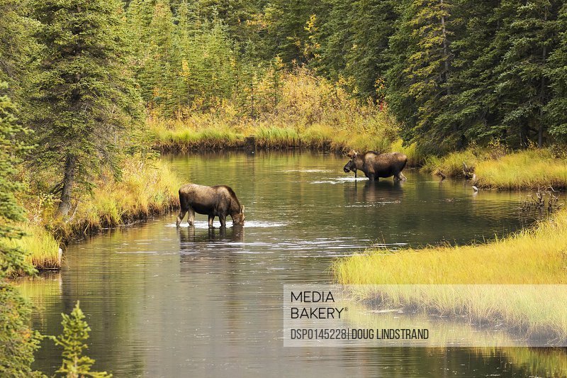 Bull and cow moose (alces alces) feeding in a shallow pond south of Cantwell, photo taken from Parks Highway common moose habitat; Alaska, United States of America