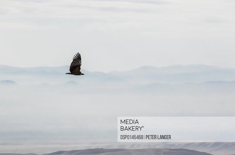 Eagle flying by the David Gareja monastery complex; Kakheti, Georgia