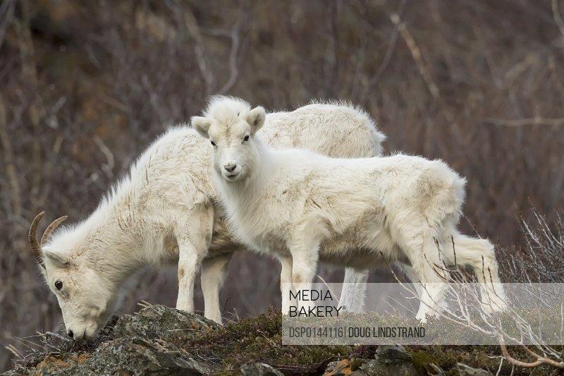 Dall ewe and lamb grazing, Chugach Mountains, south-central Alaska; Alaska, United States of America