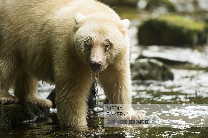 Spirit Bear (Ursus americanus kermodei) with water dripping from it's mouth in the river, Great Bear Rain Forest; British Columbia, Canada