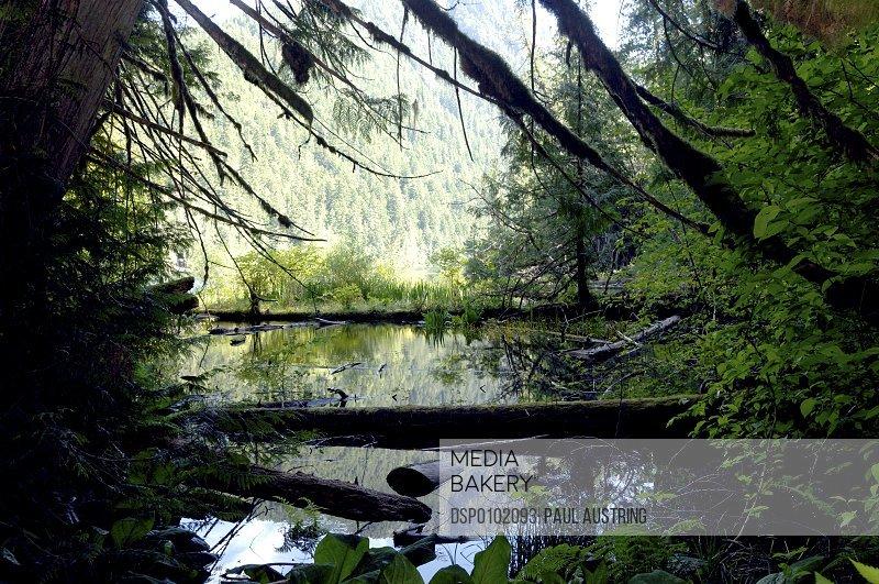 Douglas Fir Fallen Into Water, Vancouver Island, Canada