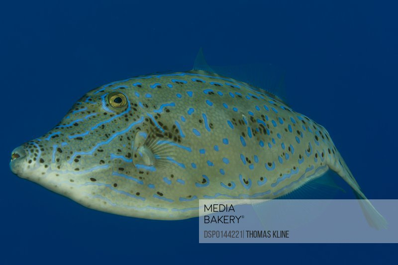Scrawled Filefish (Aluterus scriptus) portrait taken while scuba diving the Kona coast; Kona, Island of Hawaii, Hawaii, United States of America