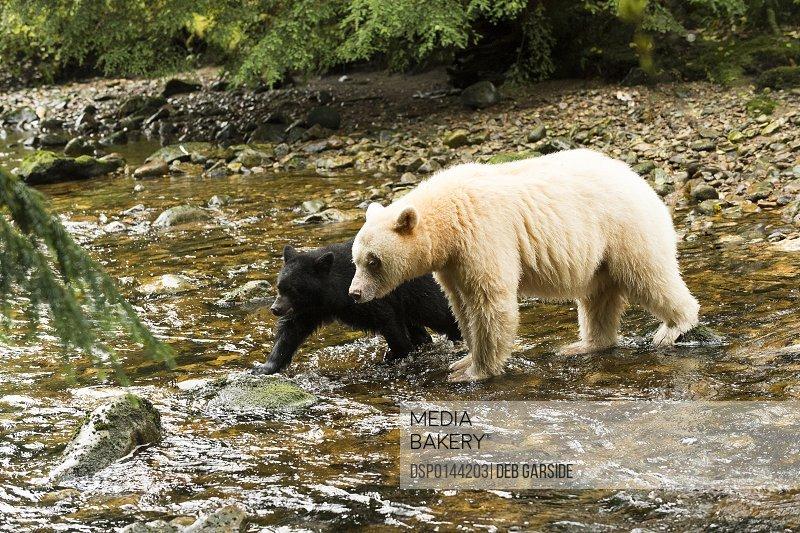 Spirit Bear (Ursus americanus kermodei) and black cub walking across a creek, Great Bear Rain Forest; British Columbia, Canada